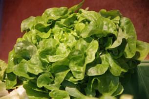 Verschiedene Salate - nussig mild im Geschmack?