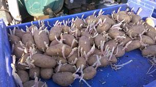 ... und mit vorgekeimten Kartoffeln geladen.....