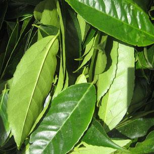 Guayusa wird nachhaltig in Waldgärten angebaut und schont somit die Umwelt. Diese Mischkulturen unterstützen eine nachhaltige und biodiverse Agroforstwirtschaft.