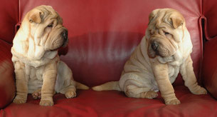 deux chiots sharpeï sables assis l'un à côté de l'autre sur un canapé de couleur bordeaux se regardant par coach canin 16 educateur canin à domicile en charente