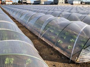 春ハクサイのトンネル湯たんぽ栽培