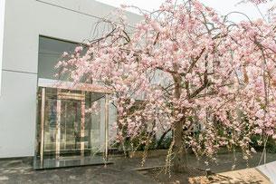 当歯科医院のシンボルツリーのしだれ桜