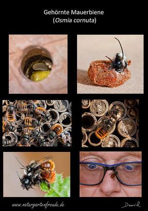 Schautafel poster Gehörnte Mauerbiene hornfaced bee Osmia cornuta Nisthilfe  insect nisting aid Insektenhotel insect hotel Wildbienen wild bee