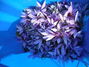 Gepflückte Safranblüten Österreich