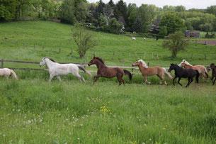 Ich galoppiere hier mit meiner Herde, neben Piet und Träumer. Freiheit... herrlich!