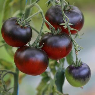 Saatgut für Cuor di bue, Rose de Berne und viele andere alte Tomaten-Sorten bei www.the-golden-rabbit.de
