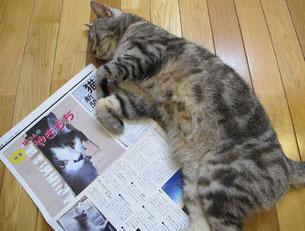 猫とも新聞に寝そべるトム君