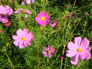 Lila rosa Blüten im Sonnenlicht mit grünem Blattwerk