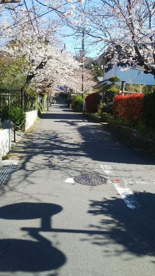 鎌倉 浄明寺 桜