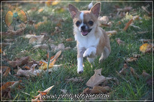 Une des races de chien mignon petit : le chihuahua