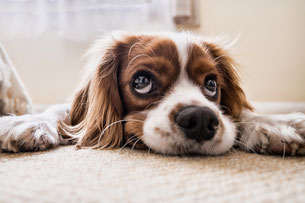 King Charles spaniel laying on white carpet.