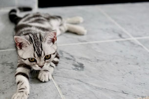 Cat laying on white and gray Carrara marble floor with white grout.