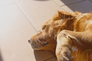 Golden Retriever laying in sunbeam on tile floor.
