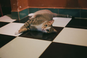 Cat laying on black and white checkered tile floor.