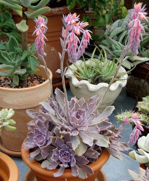 sukkulente tipps zur pflege von sukkulenten flowercompany. Black Bedroom Furniture Sets. Home Design Ideas