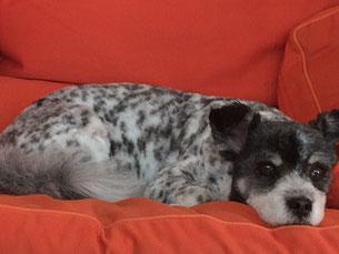 Agenturhund Sharo auf dem Sofa