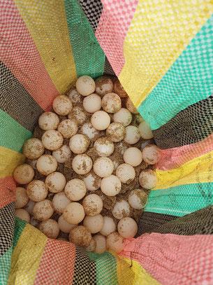 Gerettete Eier der Oliv-Bastard-Schildkröte.
