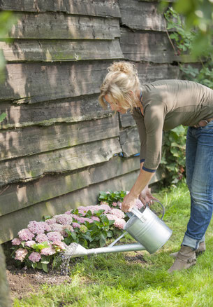 ©Magical Hydrangea - arrosage des hortensias de jardin