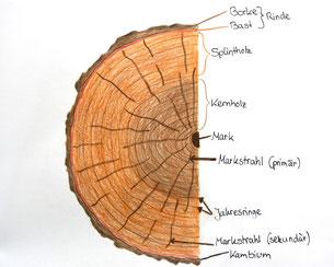 Wissenswertes Holz, Aufbau Baumstamm aus Splinztholz, Markstrahlen, Kernholz, Borke, Bast, Rinde, Mark