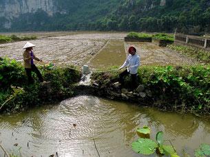 Wasser wird von Hand ins Reisfeld geschöpft