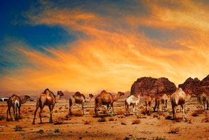 Picture of camels in the desert