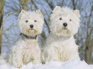 West Highland White Terrier Webseite Kft Terrier Munchen