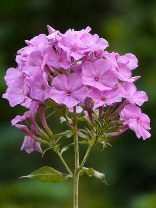 Bild: Phlox mit rosa Blüte für den Fledermausgarten