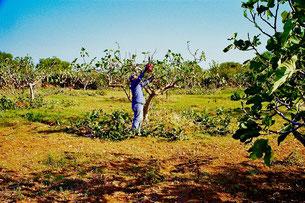 die Oliven-Bauern von Ostuni sind wahre Künstler