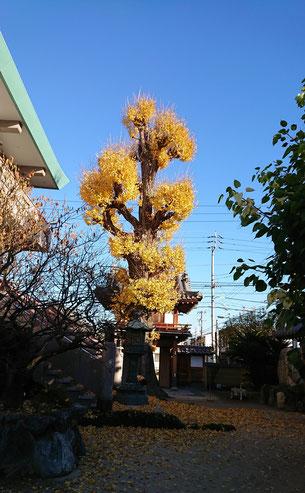 大銀杏、紅葉の様子画像