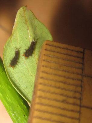 アオスジアゲハの1齢幼虫