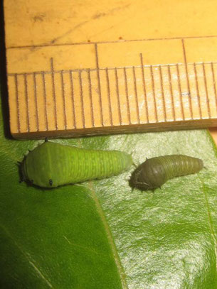 右2齢幼虫、左3齢幼虫