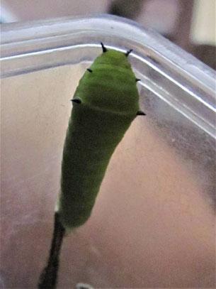 アオスジアゲハの4齢幼虫