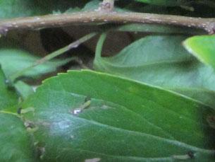 ゴマダラチョウの1齢幼虫