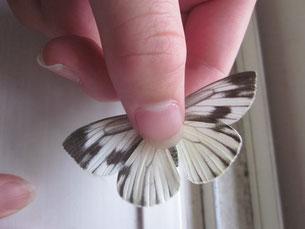 スジグロシロチョウの成虫の飼育