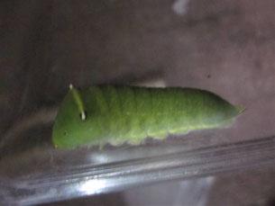 アオスジアゲハの5齢幼虫