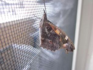 テングチョウ成虫の飼育