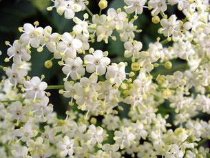 Fiore di sambuco, energetico e tonificante