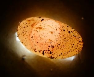 Leopardgecko-Ei Keimscheibe befruchtet Inkubation ausbrüten