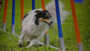 Bella Blanca of faithful Gentledogs, Agility A3, Saarlandmeisterin
