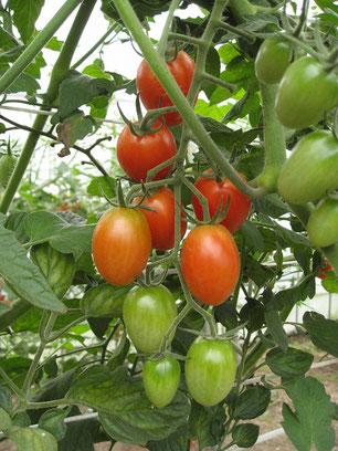 ミニトマト アイコの写真