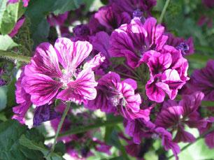 Fleißige Sommerblüher - Malven