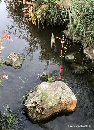 Pflanze an einem Stein mitten im Fluss Abens (2)