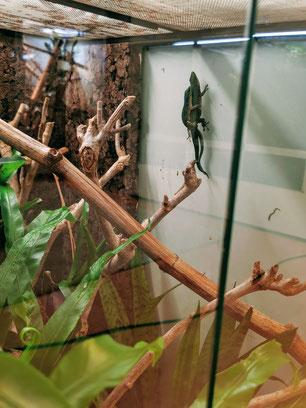 Phelsuma guttata mating