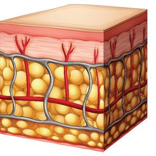 Gesundes Bindegewebe ohne Cellulite
