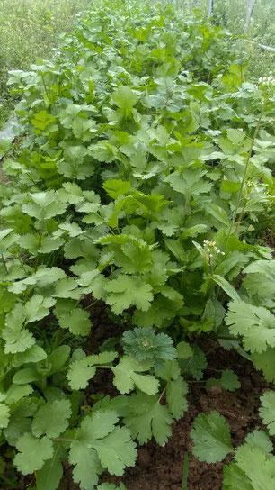 ミモレ農園 農薬不使用 ほうれん草と小松菜を収穫中です