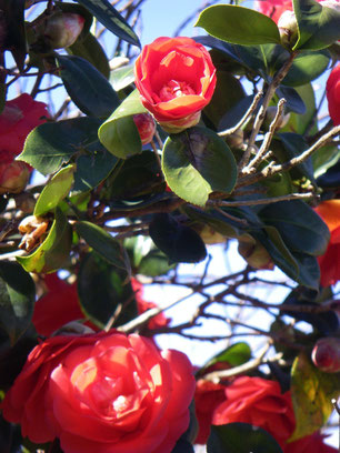 Vibrant camellias.