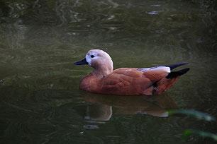 ・2010年11月13日 菊田水鳥公園 (♀)