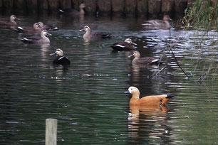 ・2010年11月13日 菊田水鳥公園 (♀)  奥はカルガモ