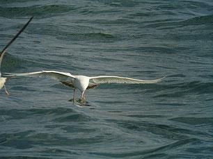 ・2010年2月6日 銚子漁港  ・白変カモメ。 体は純白。 足、嘴は、ともにピンク色で、嘴に黒斑が無いが、尾羽の黒帯からみて第1回冬羽。