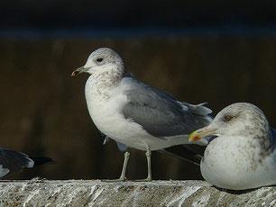 ・2010年1月9日 銚子漁港  ・成鳥の嘴は無斑または不明瞭な斑があるが、この個体は、第3回冬羽と思われる。 右はセグロカモメ。